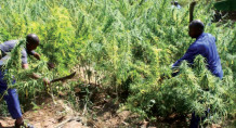 Marijuana is grown in most parts of Malawi