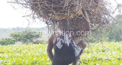 A woman carries some tea bushes which is used as firewood
