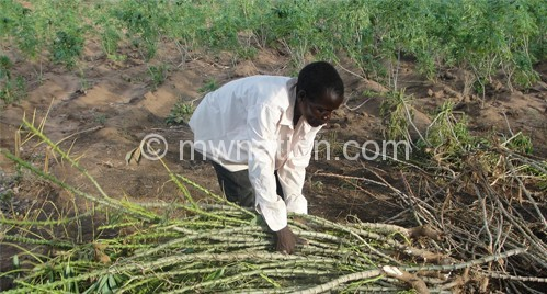 Realising the economic and potential of Cassava