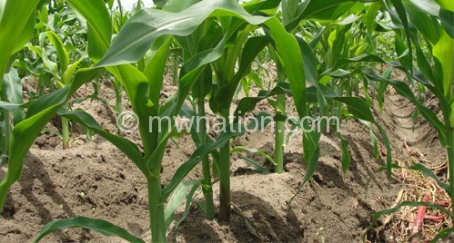 Farmer are being advised to plant early maturing maize varieties