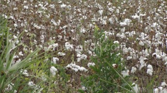 Experts upbeat on Bt Cotton release