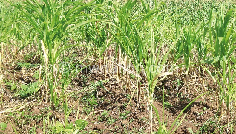 Wilting maize due to dry spell which has been attributed to climate change