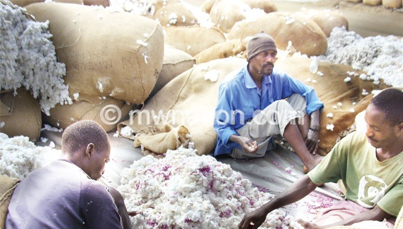Farmers sorting cotton in readness for the market