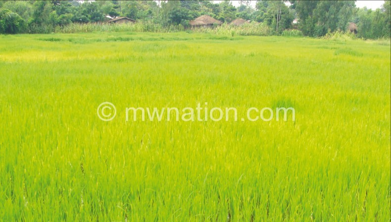 Rice is one of the organic crops being under-supplied in Europe
