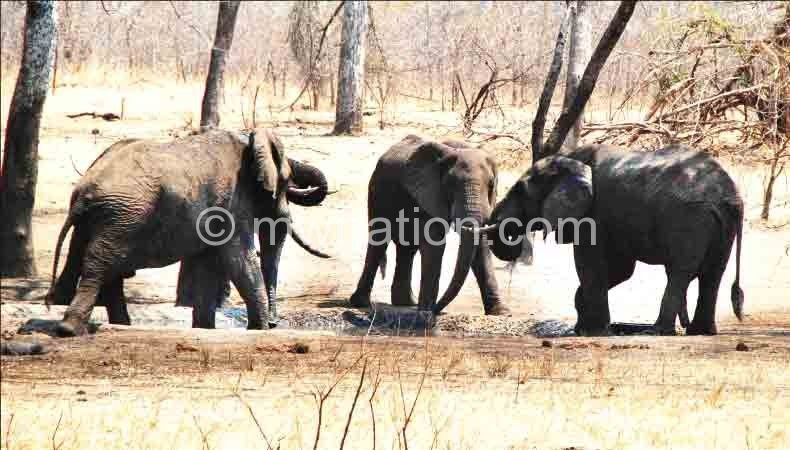 Endangered species: Malawi's elephants are under siege due to illegal ivory trade