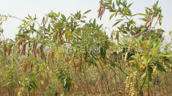 Pigeon peas growers urged to form groups
