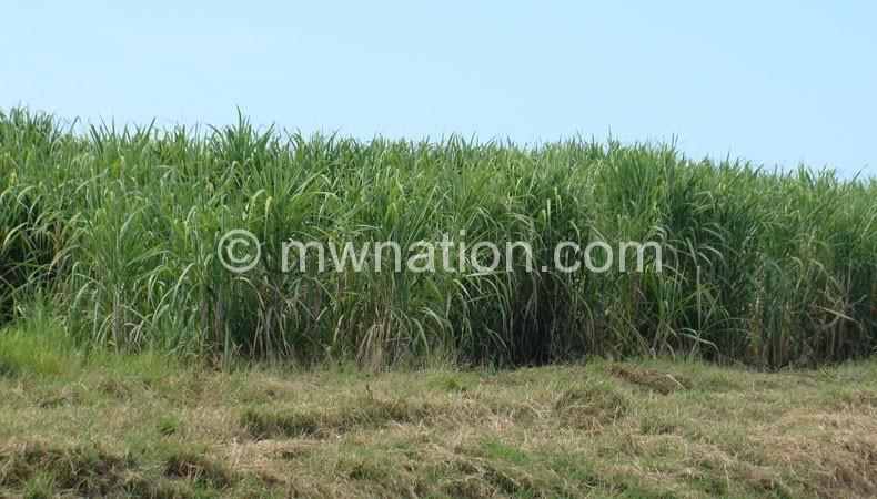 Sugarcan-plantation