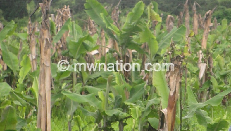 A banana field affected by disease