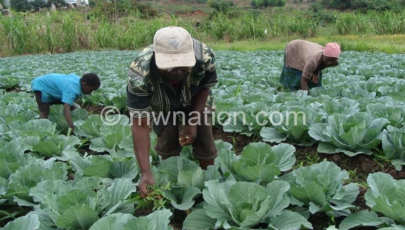 Farmers in a cabbage field