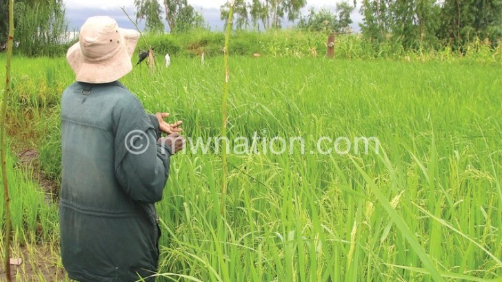 Rice output up 8.1%—Aicc