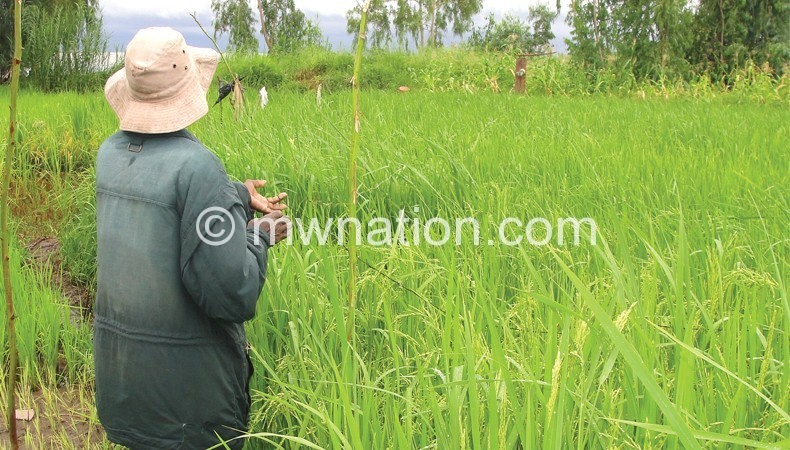 rice | The Nation Online