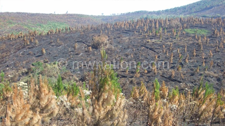 Part of the Viphya Plantation, popularly known as Chikangawa, during an earlier destruction