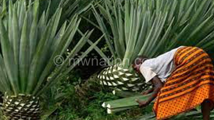 turning to sisal to save trees the nation online