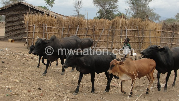 Cattle is the major currency in lobola