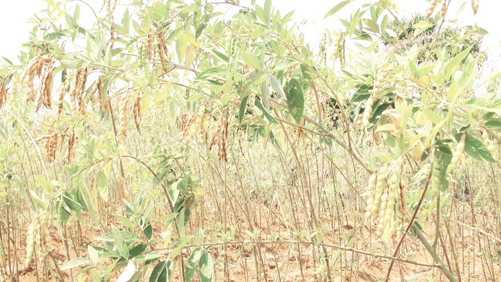 Pigeon peas has huge demand in Asian countries such as China and India