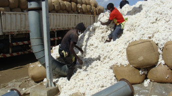 Firm moves to revamp dying cotton sector