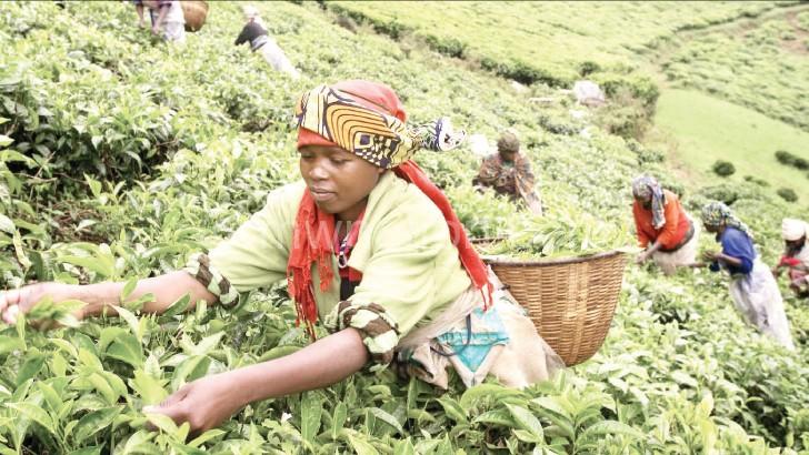 Women are often employed as tea pickers