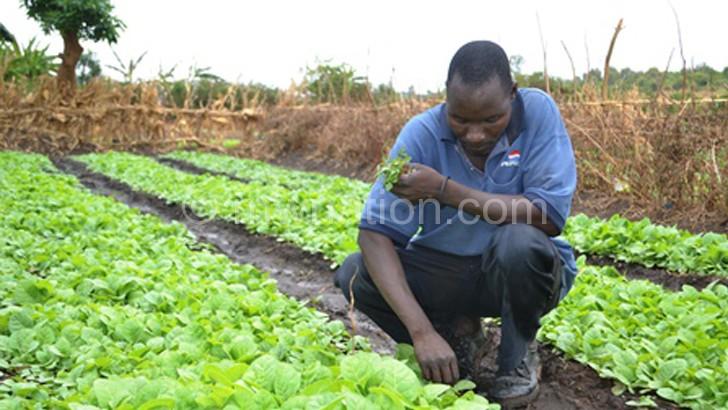 Tobacco still remains Malawi's main export crop