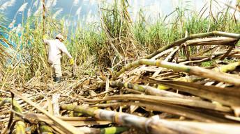 When sugar cane theft derails relocation from floods