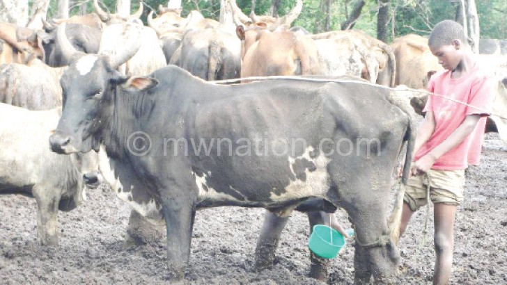 cow | The Nation Online