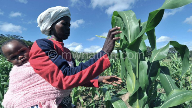 A farmer tends to maize in her garden: Can it be replaced as a staple food?