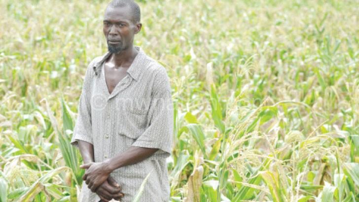 Gojo: Chimanga chikamasula popanda mvula sichingabereke
