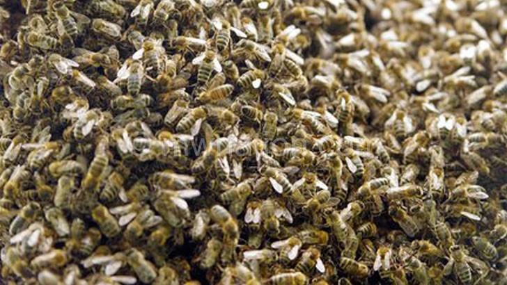 Bees in a swarm can be very dangerous