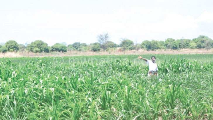 People in Nsanje will not be able to harvest enough maize this year