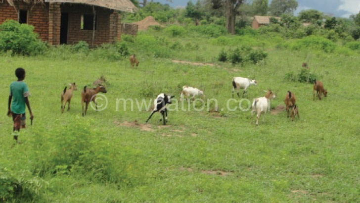 A young boy herding goats instead of being at school