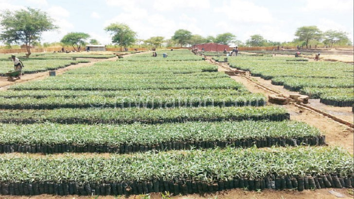 Tree seedlings at Limbe Leaf Tobacco's Kasungu Plantation Farm