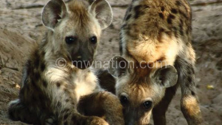 Hyenas are reportedly causing  havoc in Kasungu