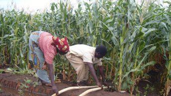 Fruits of irrigation farming, manure