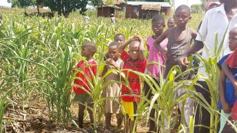 As maize dry, vegetables grow