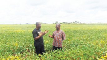 Nurturing soya beans as an alternative to tobacco