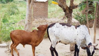 Beefing up neglected livestock business