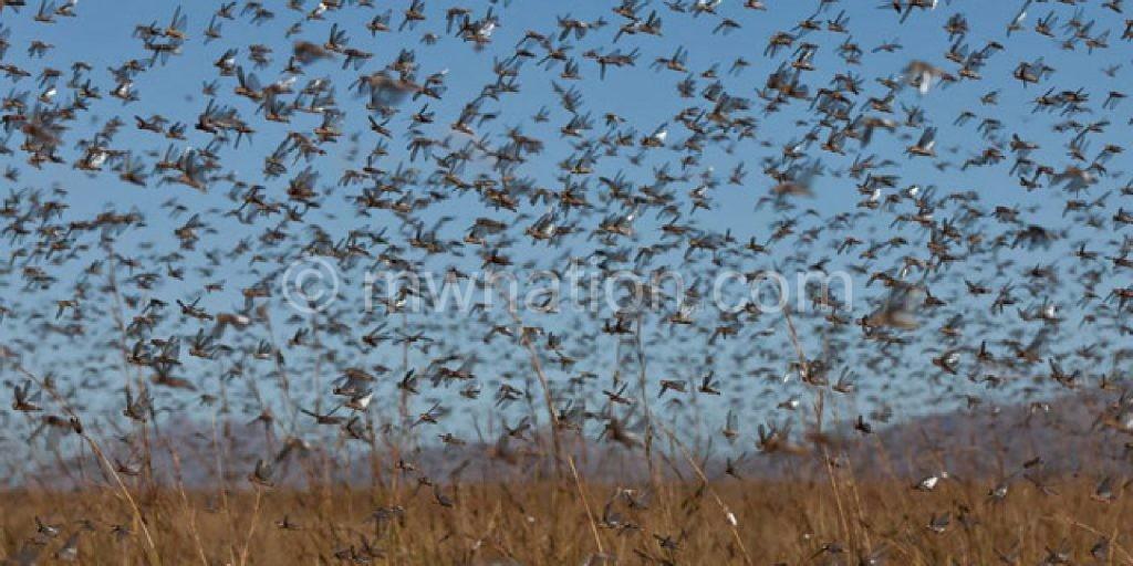 The locust invade Nchalo Sugar Estate