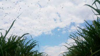 Red locusts invade Mulanje