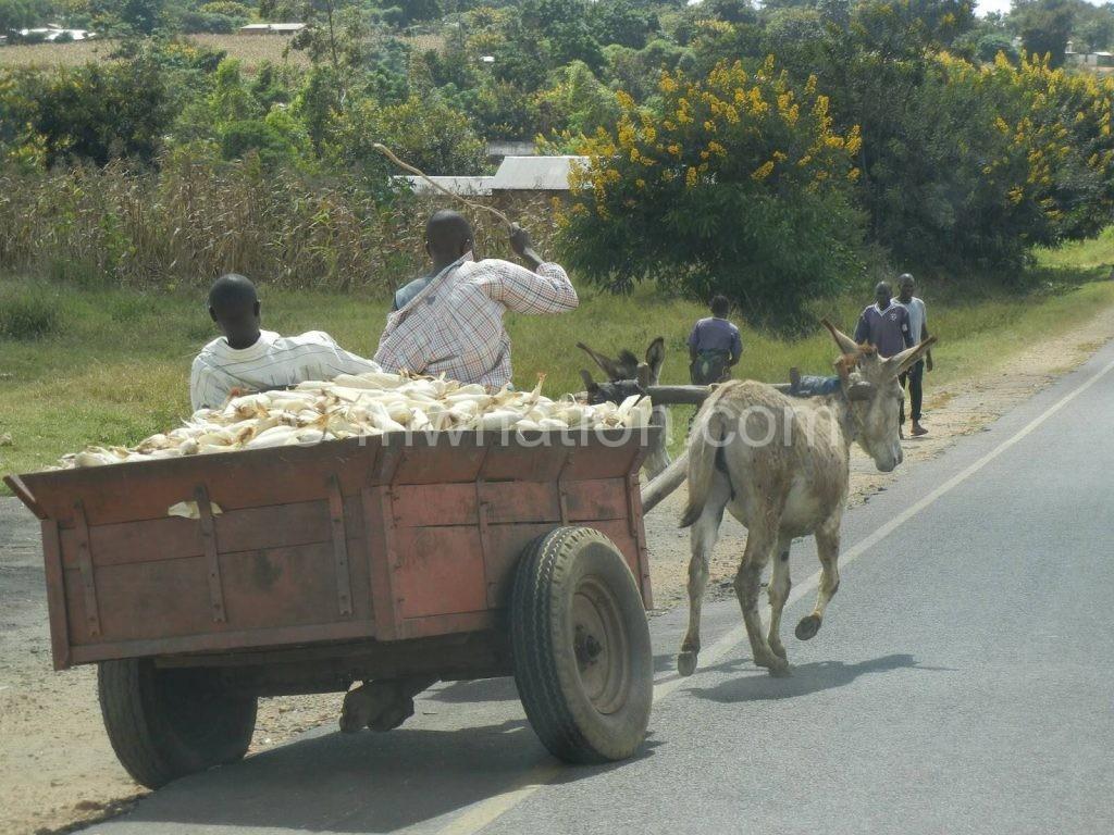 Donkeys are vital beasts of burden among rural Malawians