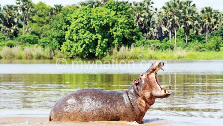 A hippo roars in the Shire at Liwonde National Park
