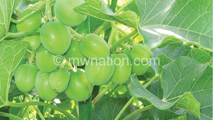 Jatropha seeds | The Nation Online
