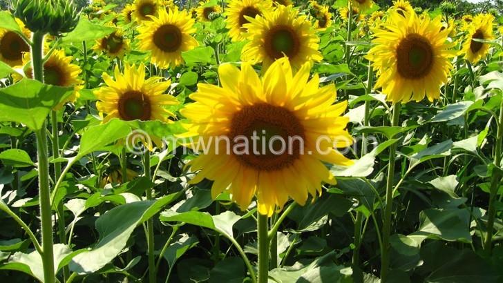 sunflower | The Nation Online