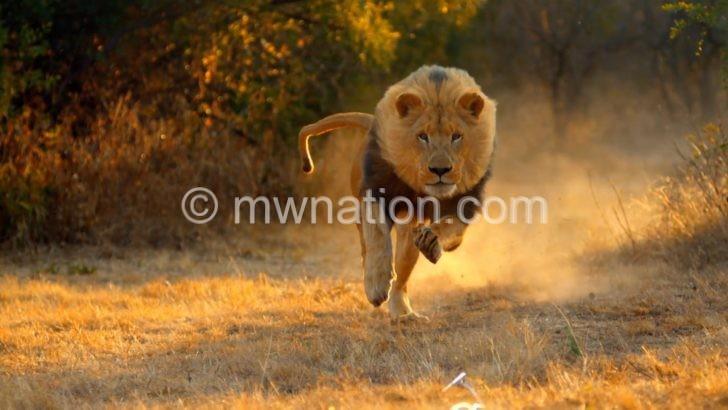lion e1490195863905 | The Nation Online