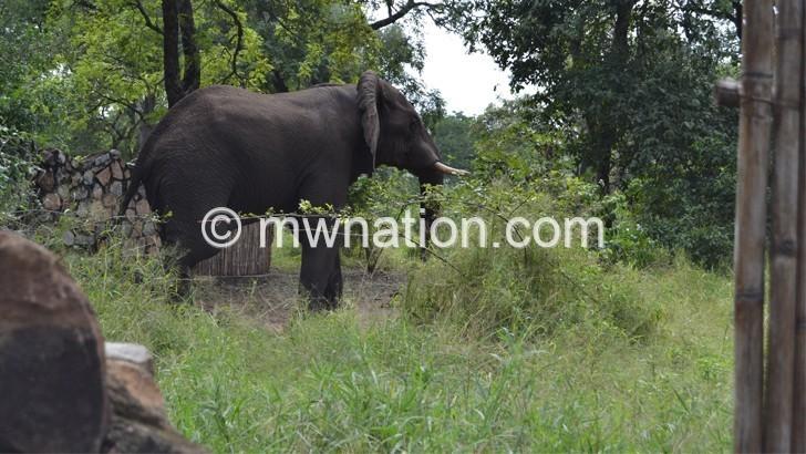 Malawi disowns seized ivory