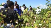 Will $4.8 million save cotton industry?
