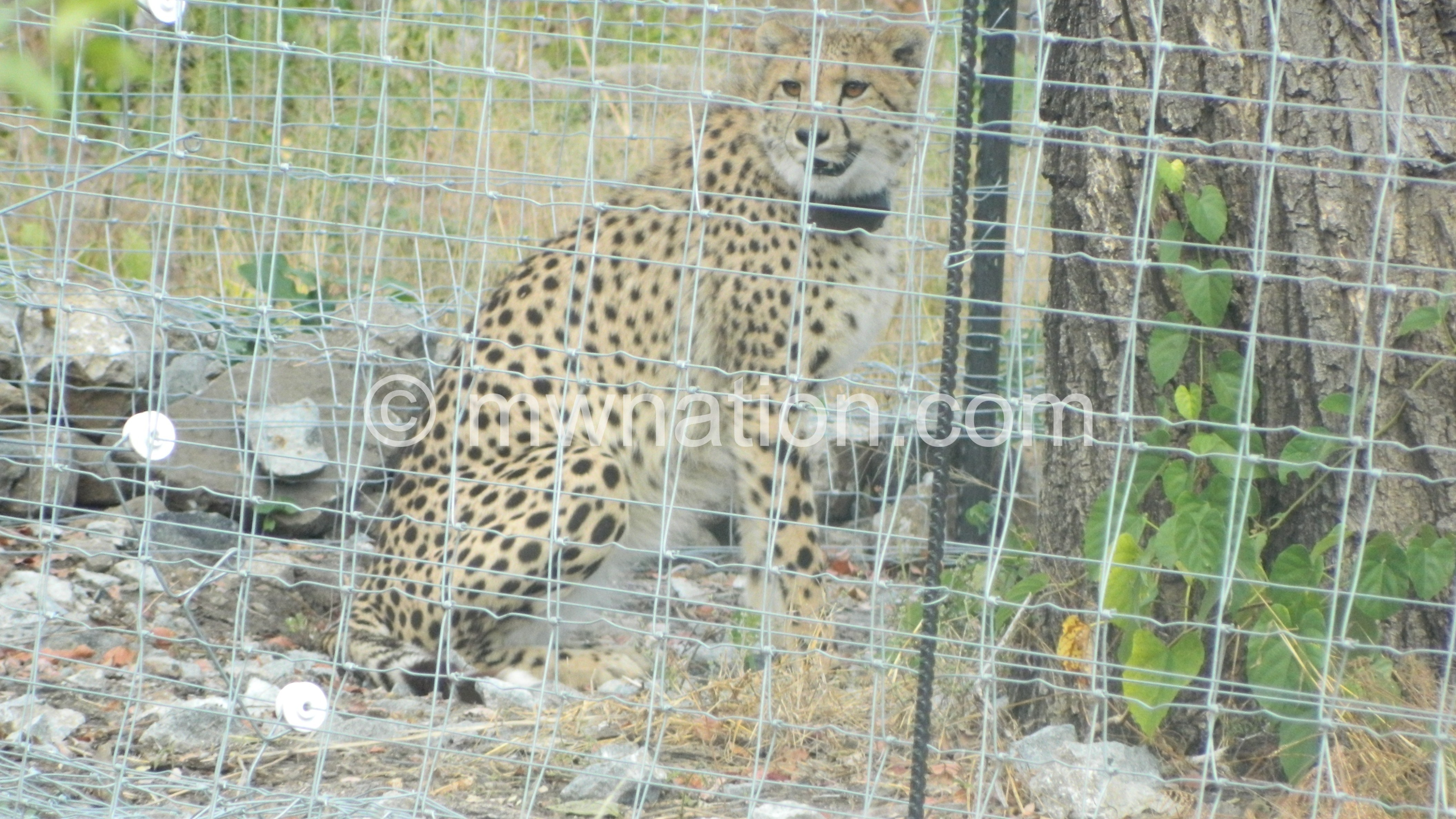 One of the cheetahs spotted in the boma | The Nation Online