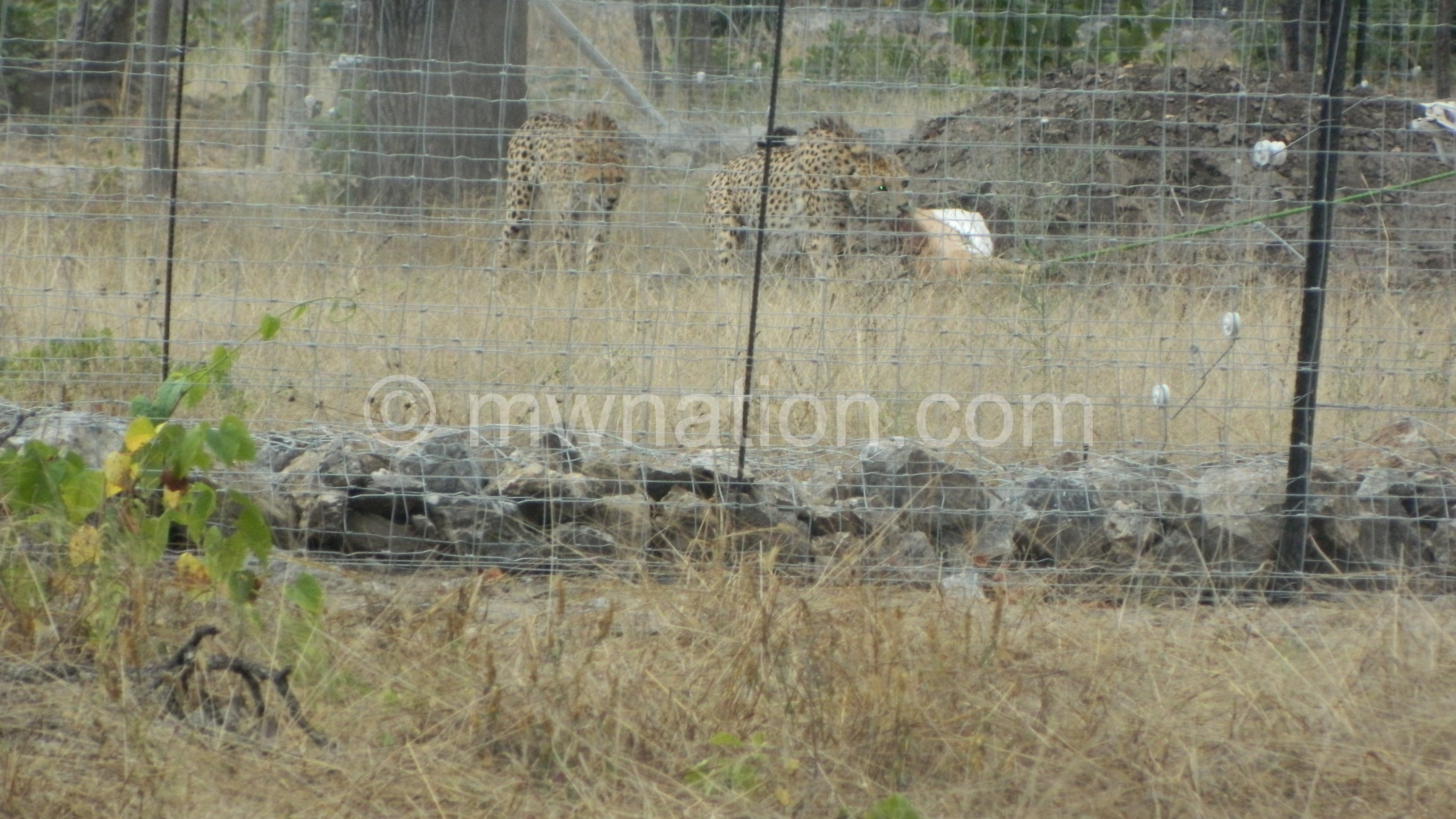 The cheetahs going after their bait | The Nation Online