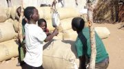 First irrigated cotton yields 800 tonnes