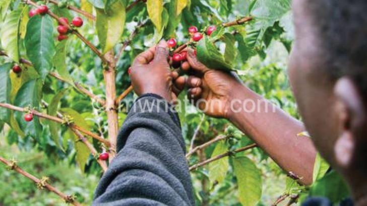 Mzuzu coffee exports  Rise, hit k3bn annually