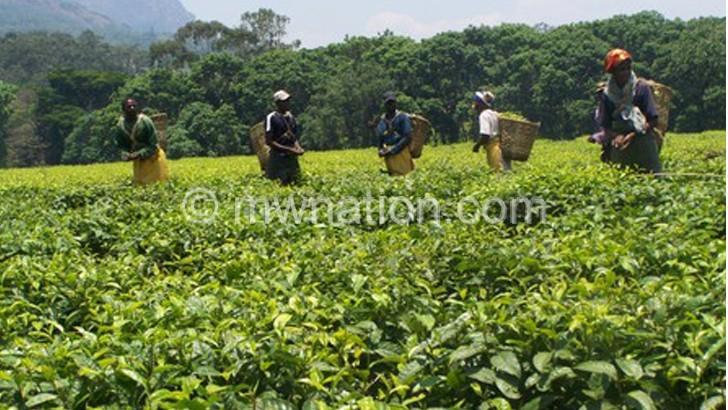 Malawi tea penetrates US, Canada markets