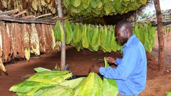 Tobacco growers expect good prices
